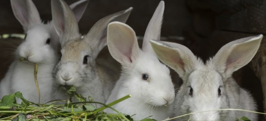 Rabbit Care & Feeding