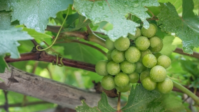The Fruit of the Vine, a powerful parable to study to see if you are really maturing or dying inside.