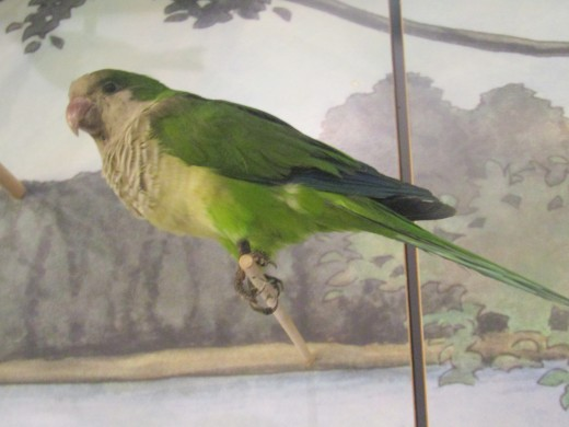 This stuffed monk parrot  is on display at the Boston Museum of Science along with several other specimens of birds endemic to Massachusetts. It has been there for decades; a non-native bird that has become well established. - George Sommers