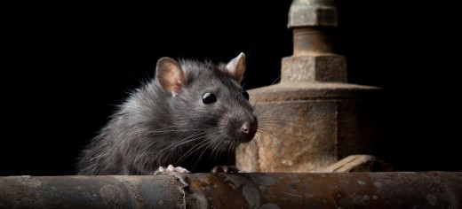 Exterminating and Controlling Mice & Rats