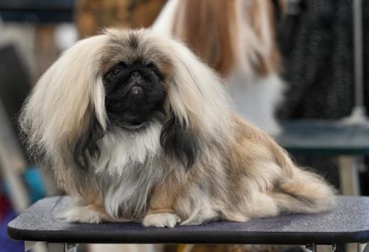 This is a pekingese breed dog with a long coat I can't almost see its eyes.