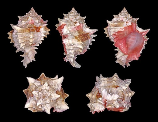 synonym: Chicoreus erythrostomus, Pink Mouthed Murex; Length 9.5 cm; Originating from the East Pacific (Region from California to Peru)