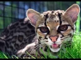 Kitty, kitty!  The Margay