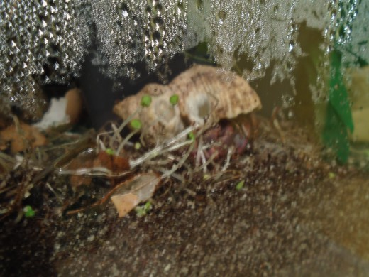 This hermit crab is munching on chia sprouts that grew from seeds planted in the tank's substrate.