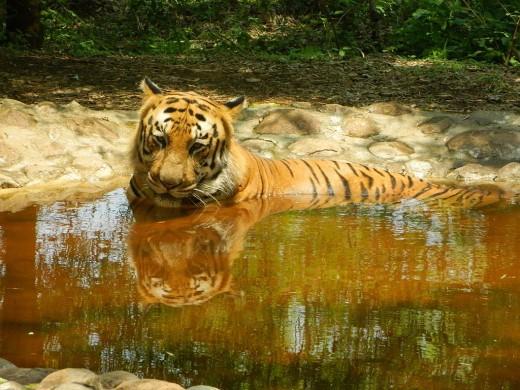 Royal tiger in Bannerghatta Biological Reserve