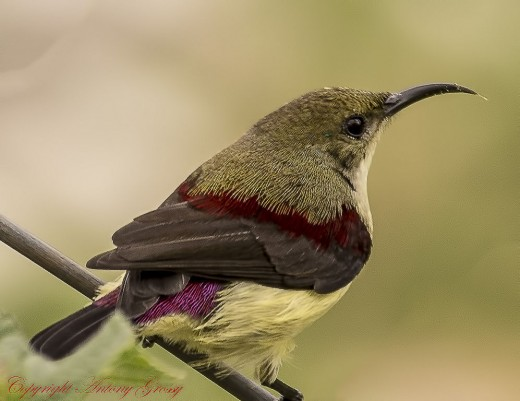 Crimson Backed Sunbird