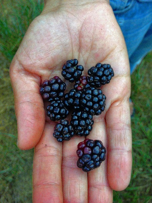Wild blackberries collected in the hills of Northern California.