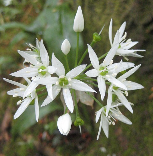Buds and flowers of Wild Garlic Allium ursinum, sometimes known as Ramsons, Wood Garlic or Bear's Garlic amongst other names. It is common in damp woodlands and hedge banks. All parts of the plant are edible.