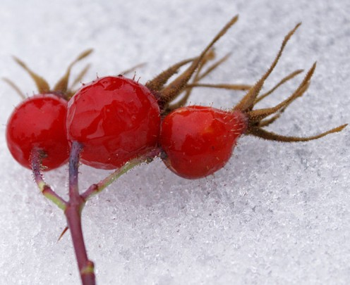Rosehips are a good source of Vitamin C and are used to make jam or syrup.