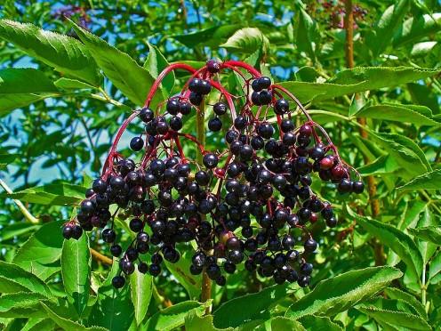 Sambucus nigra, Adoxaceae, Elder, Elderberry, Black Elder, European Elder, European Elderberry, European Black Elderberry, Common Elder, Elder Bush, infrutescence.