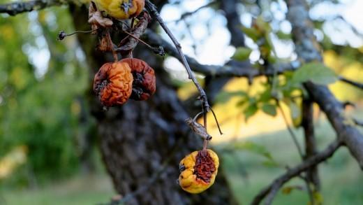 A diseased apple hangs from a tree.