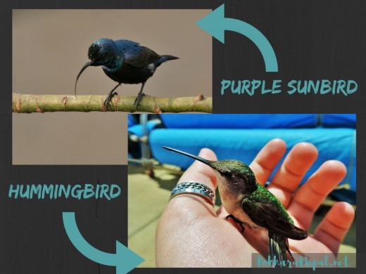 Different looks of a purple sunbird and hummingbird