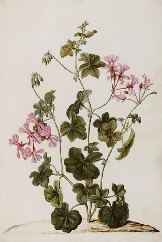 Pelargonium, often called geranium has a natural herbicide. Image:public domain