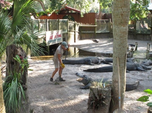 Clean-up crew at the St. Augustine Alligator Farm, in St. Augustine Florida.