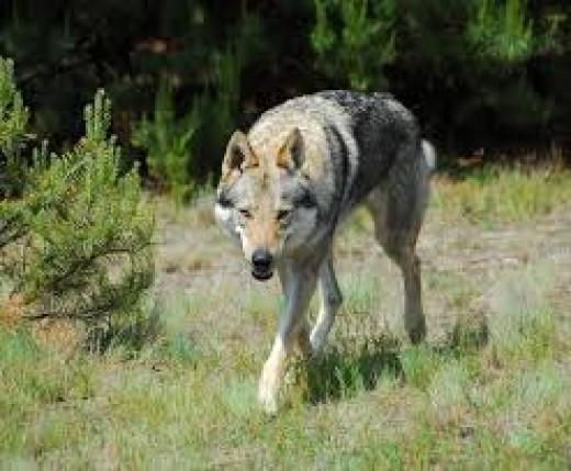 Hierran Wolfdog