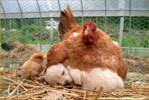 Some dogs might kill your chickens, but probably not this one.