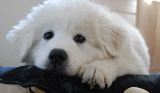 The Great Pyrenees is one of the giant dog breeds easy to love.