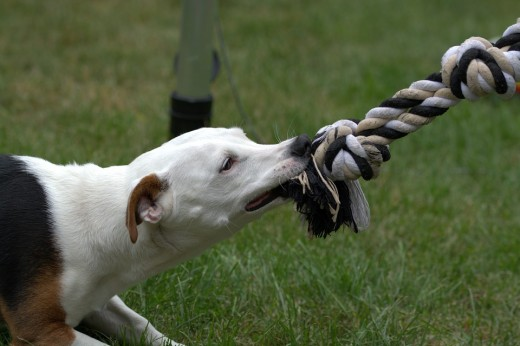 Did you know tug-of-war can be turned into a training experience to teach impulse control?