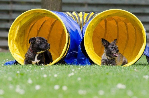 Some higher energy dogs may enjoy agility.