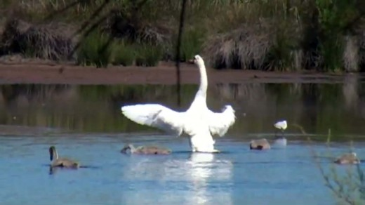 Swan spreading its wings at Parc Ornithologique