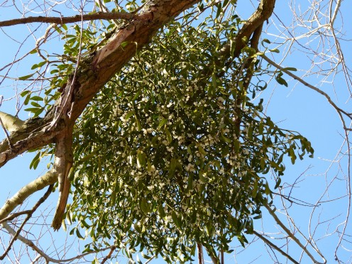 Green leaves of parasitic mistletoe plant contrast with bare branches of host tree.