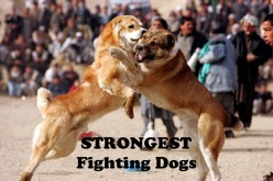 Top 10 Fighting Dogs from Asian Countries