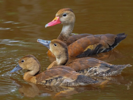 A mother and her hatchlings enjoy swim