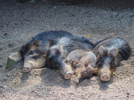 Boars enjoying the sun