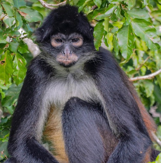 A spider monkey sitting in a tree on his island