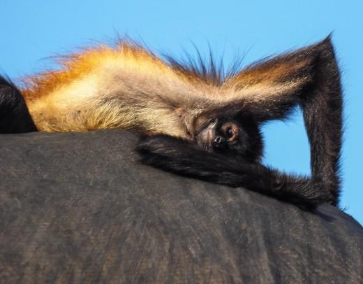 A monkey enjoys his abode