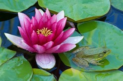 Water Lilies: The Perfect Addition to any Garden