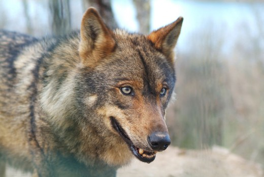 The Iberian wolf (Canis lupus signatus) is a subspecies of grey wolf that inhabits the forest and plains of northern Portugal and northwestern Spain.