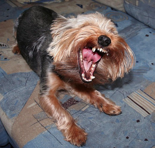 Also Yorkies have teeth ....