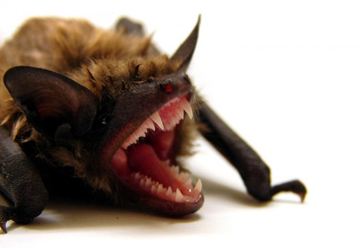 A big brown bat, Eptesicus fuscus.