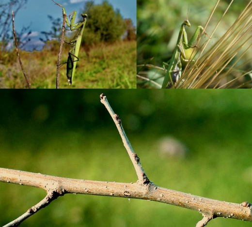 Your mantis will appreciate sturdy twigs to climb on.