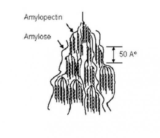 Notice the Branched structure of Amiylopectin. This structure gets broken down quicker and liberates its glucose into single units quicker than Amylose, giving an accelerated spike to plasma glucose (source: 2008 - Journal of Cereal Science)