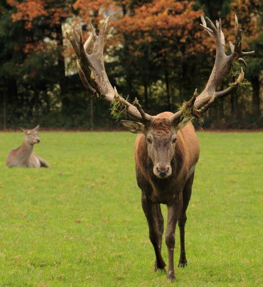 A red deer (cervus elaphus) stag's antlers covered with grass.