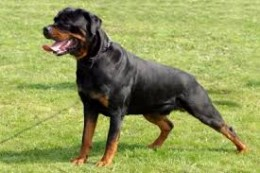 I own a Rottweiler and I love the breed. I have owned two males and i currently own a female full blooded German Rottweiler.