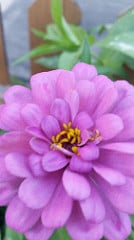 Giant Zinnia in Lavender