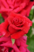 Red Roses: uses and pictures