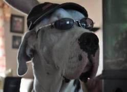 Celebrity Great Danes