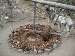 Traditional method of crushing agave hearts for distilling