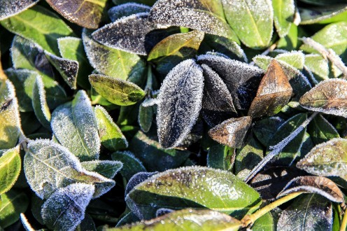 Leaves glisten with hoar frost on a winter's day.