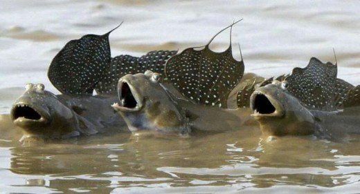Mudskippers:  Fish that Walk on Land