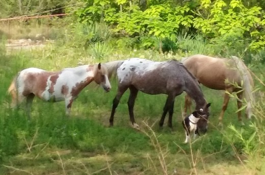 Our horses, from left, Missy, Dusty and Abby with Butch keeping an eye on them
