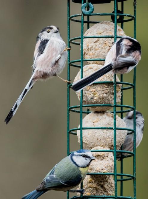Birds enjoy tasty fat balls in the winter.