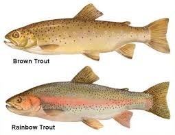 Two types of Trout.