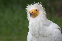 Egyptian Vulture, White Scavenger Vulture or Pharaoh's Chicken (Neophron percnopterus) in the Zoo of Madrid, Spain.