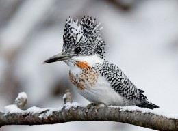 A male Crested kingfisher at Asahikawa city in Hokkaido, Japan