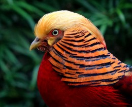 A Golden Pheasant (Chrysolophus pictus) photographed in the Kuala Lumpur Bird Park.